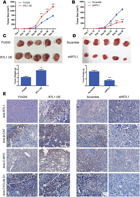 RTL1/β-Catenin engages in tumour growth in vivo.
