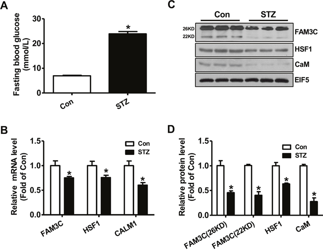 FAM3C-HSF1-CaM pathway was repressed in type 1 diabetic mouse livers.