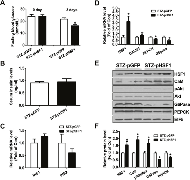 Plasmid overexpression of HSF1 in the livers improved hyperglycemia of type 1 diabetic mice.