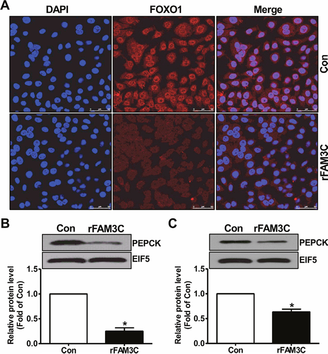rFAM3C inactivated FOXO1 and repressed gluconeogenic gene expression in hepatocytes.