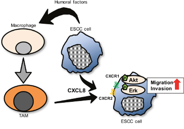 A proposed model of the interaction between ESCC cells and TAMs through CXCL8 in tumor microenvironment.