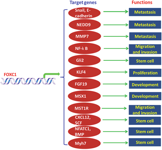 Functions and mechanisms of FOXC1 in human.