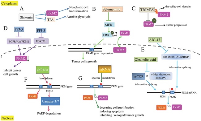 The inhibition of PKM2 as a therapeutic target.