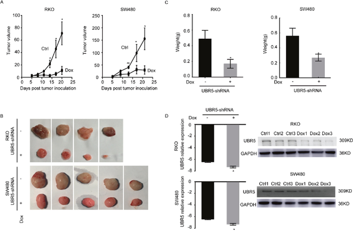 Knockdown of UBR5 reduces the growth of CRC xenografts in BALB/c nude mice.