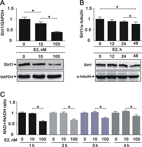 E2 treatment downregulated SIRT1 expression in the A7r5 rat smooth muscle cell line We treated A7r5 cells with 10 nM and 100 nM E2.