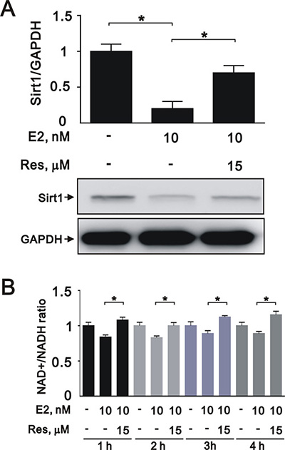 Resveratrol reversed the effects of E2 on SIRT1 expression in A7r5 cells.