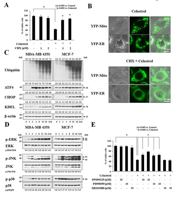 Celastrol induces paraptosis.