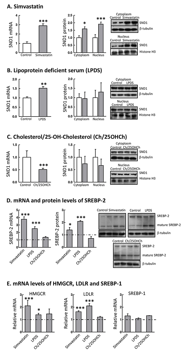 SND1 gene transcription responds to SREBP-2 activity modulators.