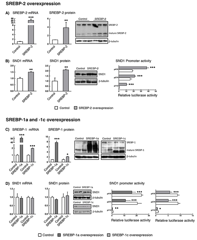 SND1 gene transcription is dependent on the cellular SREBP levels.