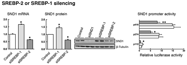 SREBP-1 or SREBP-2 depletion affects SND1 gene transcription.