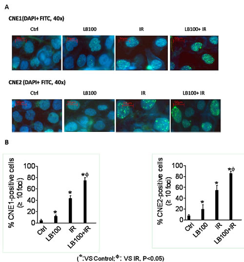 LB100 leads to persistent radiation-induced DNA damage.