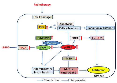 Schematic illustration of the potential mechanisms by which PP2A inhibition with LB100 enhances the effect of NPC radiotherapy.