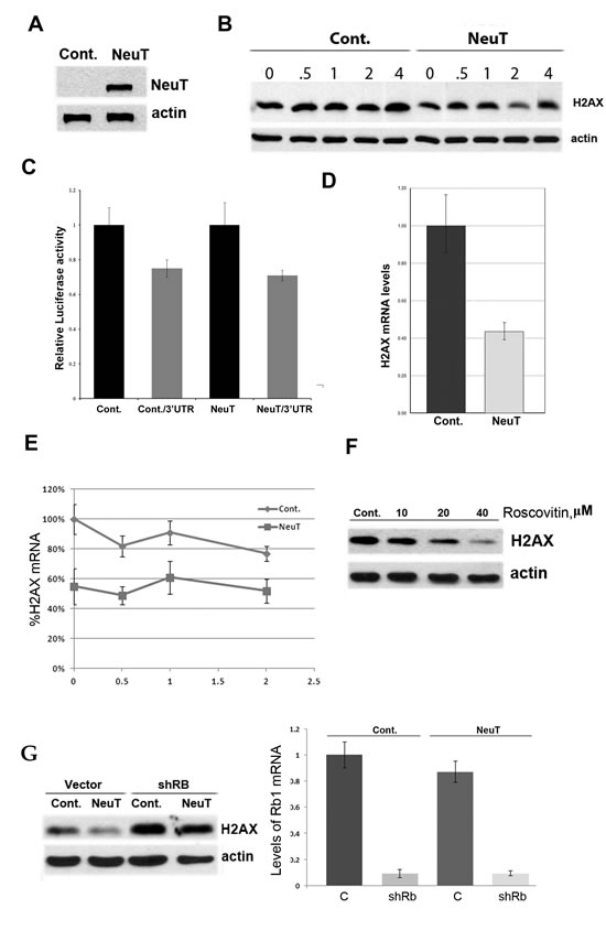 Fig.2: NeuT oncogene suppresses expression of H2AX.
