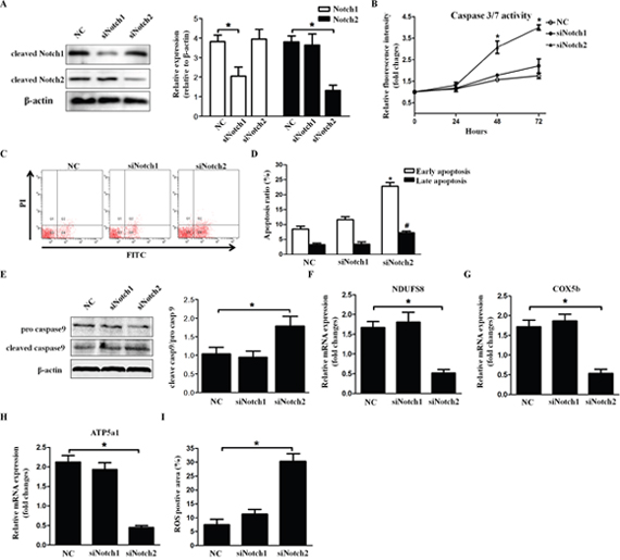 Knockdown of Notch2 aggravates HLEC apoptosis.