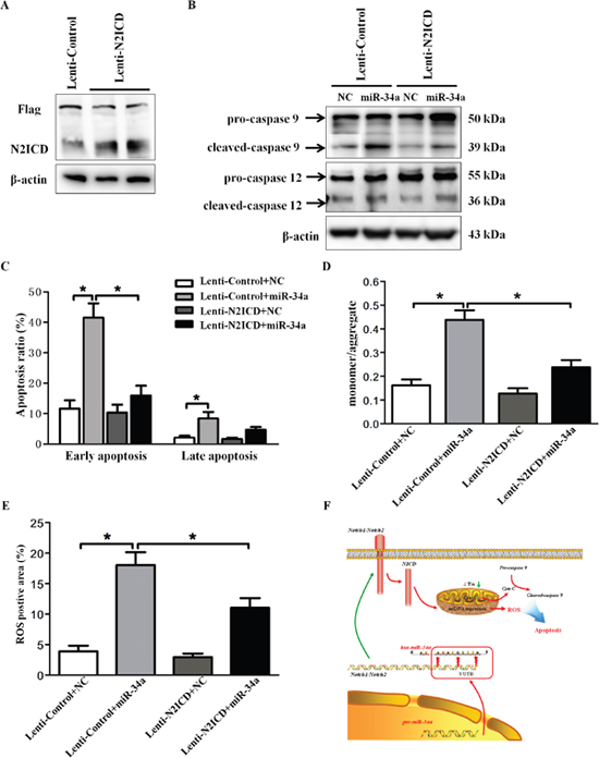 Overexpression of N2-ICD rescues HLEC apoptosis.