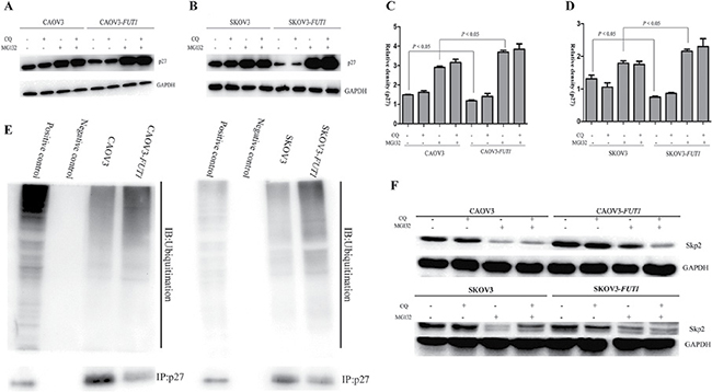 Lewis y antigen promoted the degradation of p27 via the ubiquitin-proteasome pathway, but not autophagy.