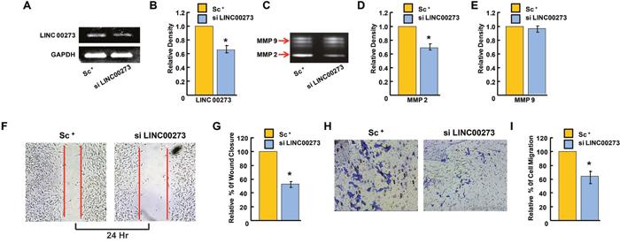 Effect of LINC00273 gene knockdown [using short interfering RNAs (siRNAs)] on B-16 melanoma cells.