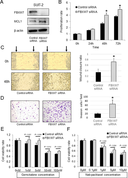 In vitro functional analysis of FBXW7 in SUIT-2 pancreatic cancer cells transfected with FBXW7-specific siRNA.