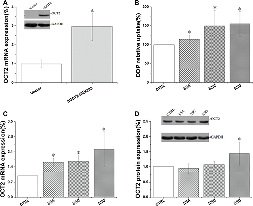 Saikosaponin A, C, and D increased cisplatin uptake and affected OCT2 expression in OCT2-HEK 293 cells.