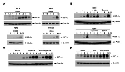 HBSS induces HIF-1α expression and potentiates the HIF-1α responses of hypoxia and CoCl