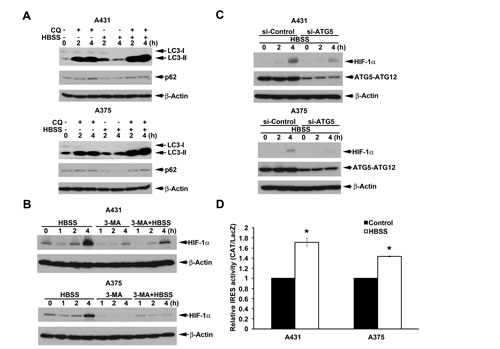 Beclin 1-independent macroautophagy also positively regulates HBSS-induced HIF-1α IRES activity in A431 and A375 cells.