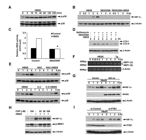 p38 mediates HBSS-induced HIF-1α expression independent of macroautophagy.