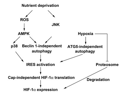 Schematic summary of nutrient deprivation- and hypoxia-induced HIF-1α expression.