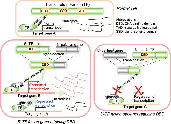 Illustration of DNA binding domain (DBD) retention in transcription factor fusion genes (TFFGs).