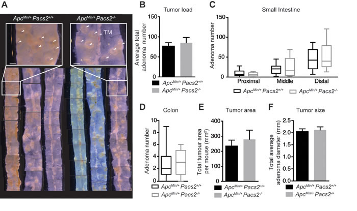 Pacs2-deficiency has no apparent effects on intestinal tumor growth in the
