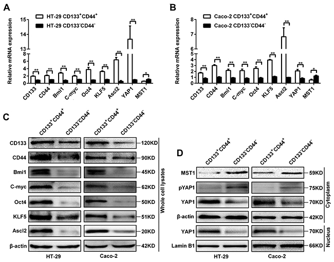 Oncotarget | Ascl2 activation by YAP1/KLF5 ensures the self