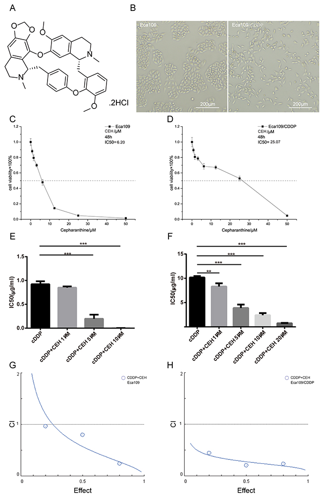 Inhibition of proliferation in esophageal cancer cell lines by cepharanthine hydrochloride (CEH).