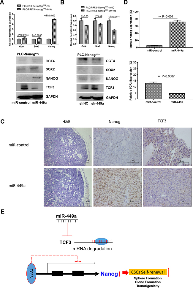 miR-449a promotes the self-renewal capacity of HCC stem cells by downregulating TCF3 expression.