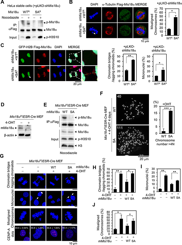Mis18α phosphorylation is necessary for faithful mitotic division.