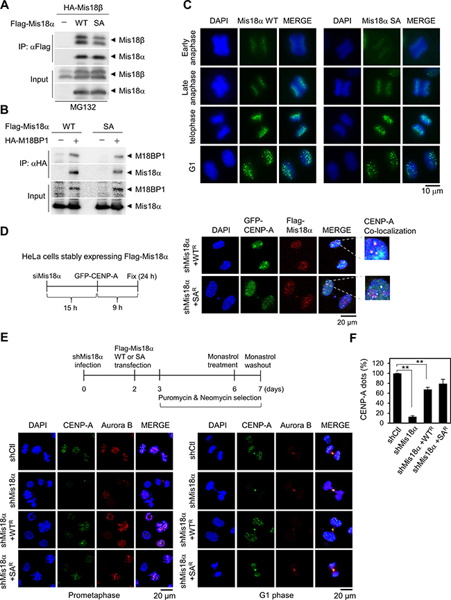 Mis18α phosphorylation is not required for CENP-A loading.
