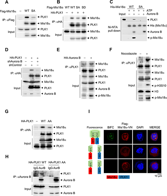 PLK1 recognizes Mis18α phosphorylation through its PBD.