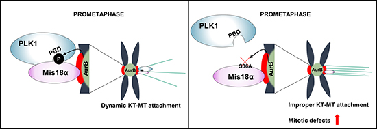 Mis18α function during mitosis by enhancing PLK1 kinetochore recruitment.