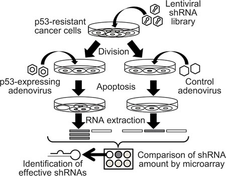 Schematic representation of the array-based shRNA library screening process.