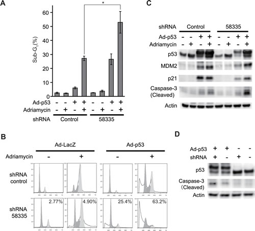 Effect of shRNA-58335 on p53-induced apoptosis.