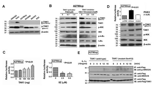 TAK1 exerts its functional effects through activation of NF -κB pathways by phosphorylation at Ser412.