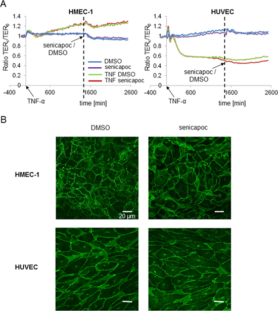 Transendothelial resistance measurements (TER) with HMEC-1 and HUVEC cells showing no impact of senicapoc on endothelial barrier function.