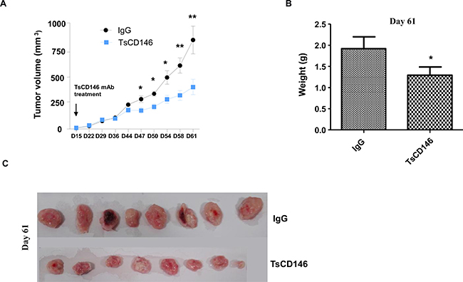 Effect of TsCD146 mAb on growth of C81-61 cells in an animal model of xenograft.