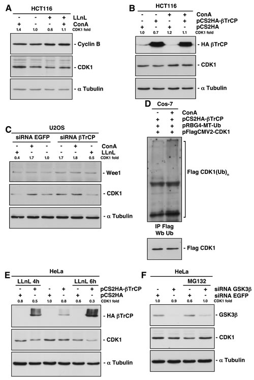 Lysosomal-mediated CDK1 degradation involves both SCF