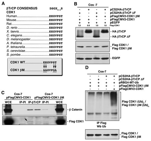 Identification of the βTrCP recognition motif in CDK1, whose mutation avoids both βTrCP/CDK1 interaction, and CDK1 ubiquitination and degradation.