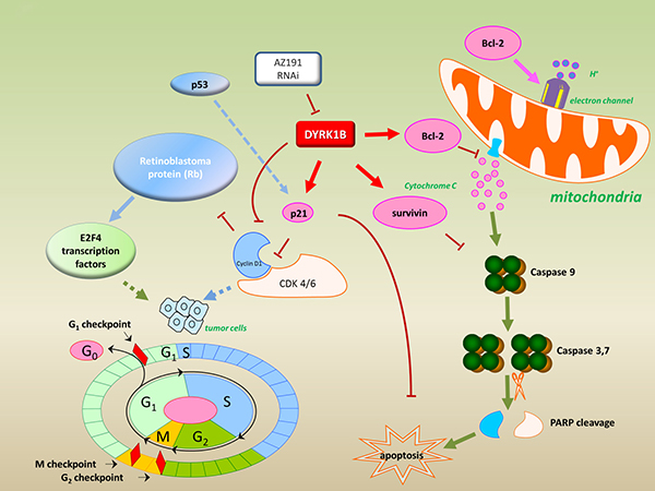Model for targeting DYRK1B to regulate cell proliferation and apoptosis in liposarcoma.