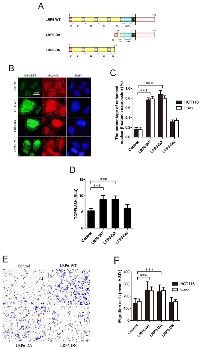Activated LRP6 stimulates Wnt/β-catenin signaling and promotes cell migration.