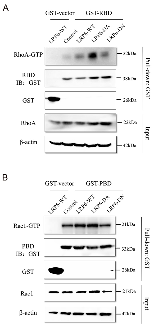 LRP6 regulate Rho GTPase activity.