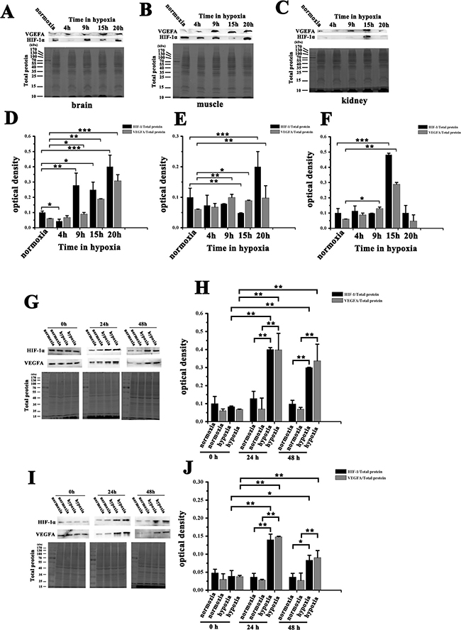 Expression of HIF-1α and VEGFA in NMRs and HSCs from NMRs or mice before and after hypoxia.