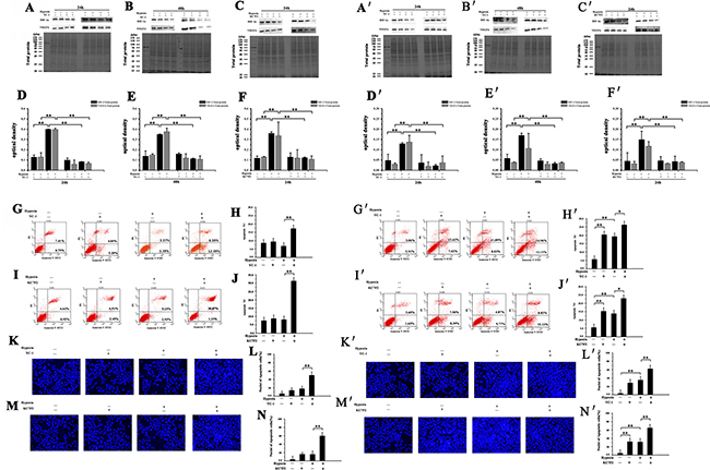 Effect of YC-1 or KC7F2 on HIF-1α and VEGFA expression and apoptosis in NMR or mouse HSCs.