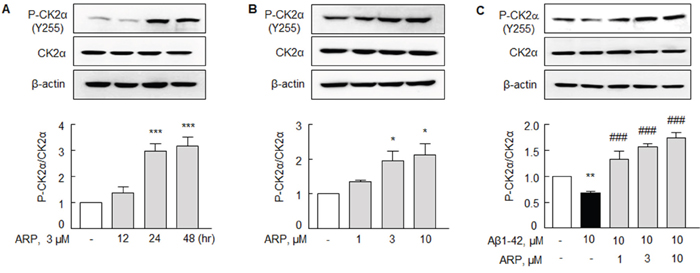 Aripiprazole stimulation of P-CK2α (Y 255) in N2a cells.