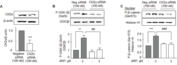 Analysis of CK2α-knockdown effects in the N2a cells.